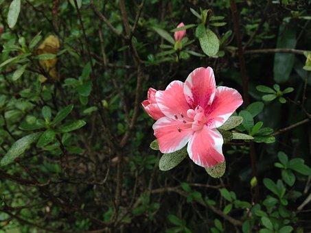 Pink Flower, Azalea, Maui Nui, Botanical Gardens