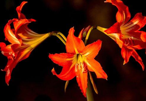 Flowers, Blooms, Hippeastrum, Orange, Bright, Dramatic