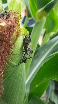 Corn, Cornfield, Insect, Bug, Wheel Bug, Assassin Bug