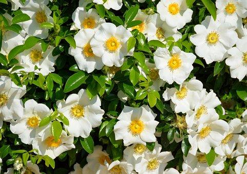 Cherokee Rose, White, Color, Rose, Flower, Cherokee