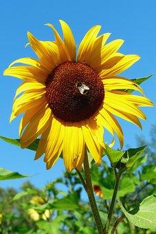 Sun Flower, Hummel, Flower Meadow, Flowers, Yellow