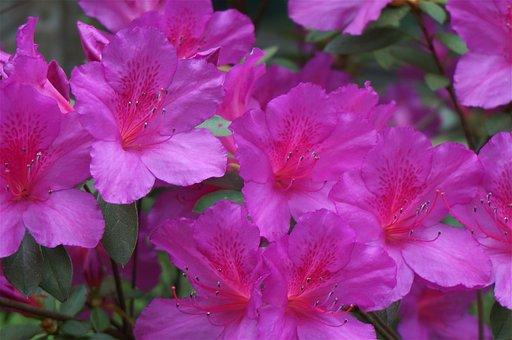 Plants, Flowers, Azalea, Hot Pink, Spring, Garden