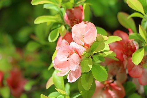 Azalea, Spring, Azalea Flowers, Plants, April, Flowers