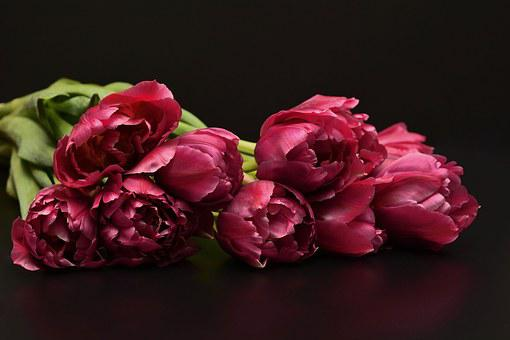 Tulips, Flowers, Pink, Nature, Sill Flat, Noble