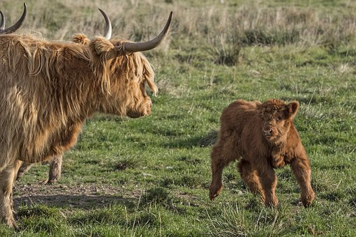 Galloway, Beef, Calf, Scottish Hochlandrind, Livestock