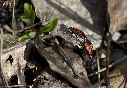 Fire Bug, Pairing, Nature, Garden, Red, Animal World