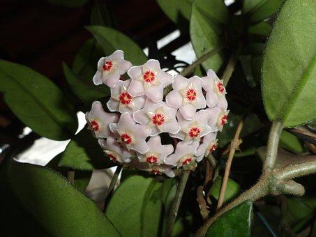 Hoya, Wax Flora, Flowers, Garden