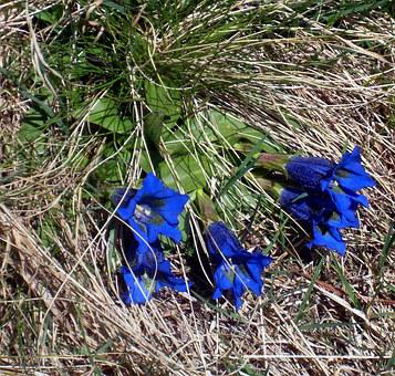 Gentian, Wild Flower, Blue, Plant, Alpine, Mountains