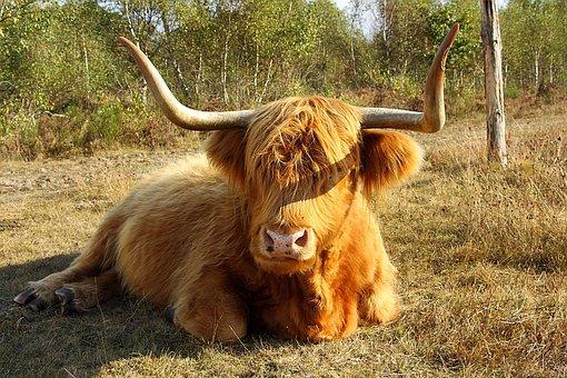 Highland Beef, Cow, Beef, Horns, Animal, Scotland