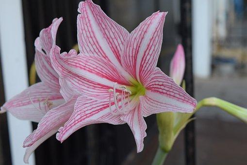 Hippeastrum, Flower, White