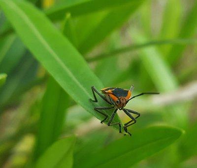 Milkweed Bug, Bug, Insect, Leaf, Close Up, Bokeh