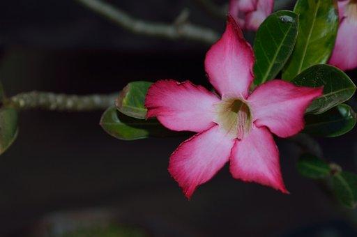 The Azalea, Flowers, Desert Flower, Leaves