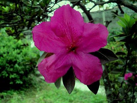 Azalea, Gardem, Life, Purple, Flower
