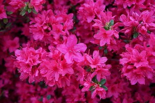 Azalea, Spring, Flowers, Nature, Pink Flower