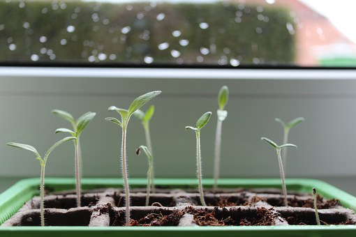 Plant, Green, Tomato Plant, Seedling, Close Up, Nature