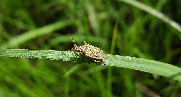 Beetle, Bug, Stink Bug, Rice Stink Bug, Insect