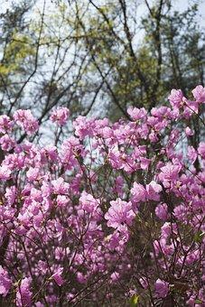 Azalea, Spring Flowers, Spring Mountain, Nature, Korea