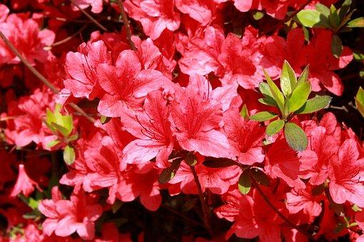 Azalea, Flowers, Red Flowers, Nature, Hwasaham, Spring