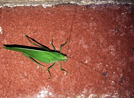 Katydid, Insect, Bug, Tettigoniidae, Bush Crickets