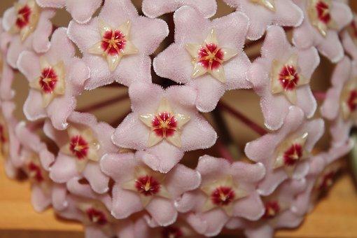 Flower, Pink, Hoya, Wax Plant, Creeper