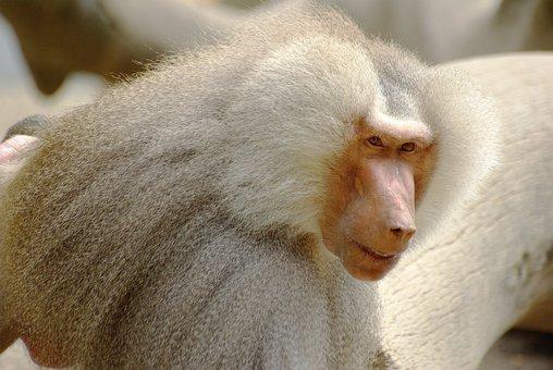 Baboon, White, Fur, Mantelpavian, Primate, Wild Life