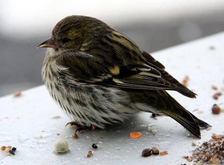 Bird, Siskins, Female, Window Sill, Winter