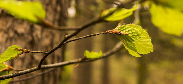 Beech, Beech Leaf, Sprout, Shoots, Spring, Beautiful
