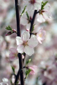 Almond Blossom, Almond, Blossom, Petal, Pink, White
