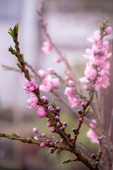 Flower, Nature, Tree, Plant, Peach, Blossom, Bloom