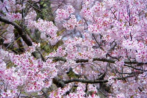 Cherry, Flowers, Wood, Branch, Plant