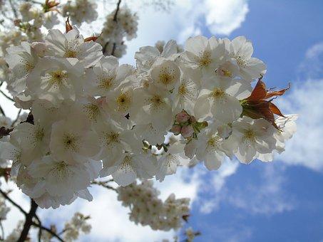 Flower, Cherry, Branch, Flora, Tree, Season, Nature