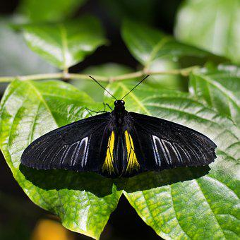 Butterfly, Insect, Nature, Golden Birdwing Butterfly