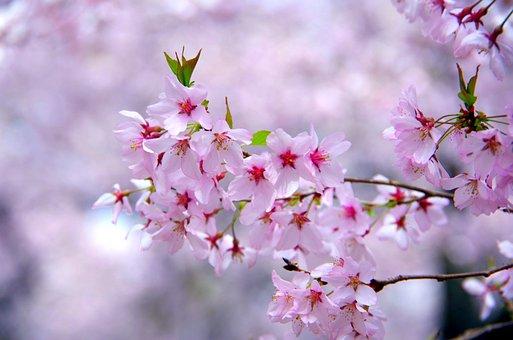 Flowers, Cherry, Plant, Branch, Natural, Petal