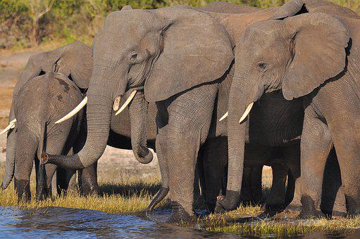 Elephant, Ivory, Mammal, Trunk, Wildlife