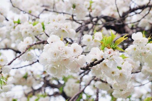 Cherry, Tree, Flower, Branch, Season, Floral, Plum