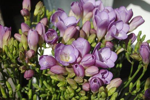 Flower, Bloom, Petal, Floral, Bud, Freesias