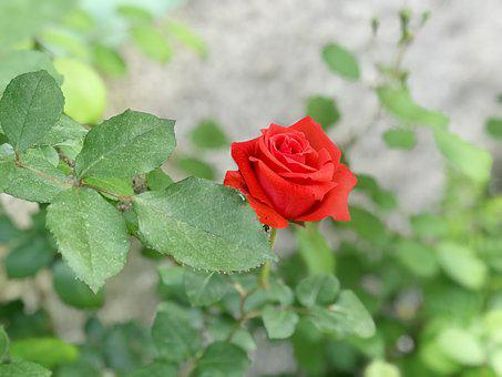 Nature, Leaves, Flower, Plant, Rose, Outdoor, Color