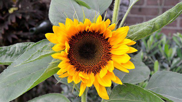 Nature, Plant, Sheet, Summer, Garden, Sunflower, Flower