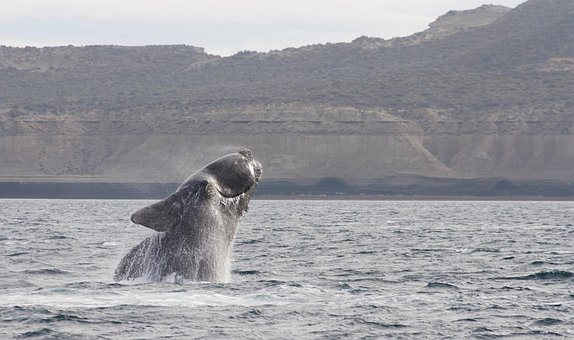 Jump, Whale, Southern Right Whale, Body Of Water, Sea