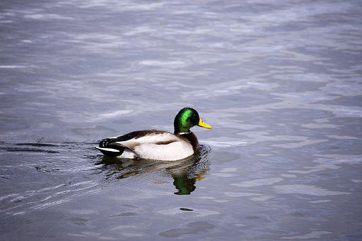 Duck, Water, Bird, Lake, Swimming, Bend, Outdoor