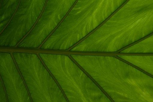Leaf, Plant, Growth, Vein, Environment, Nature, Garden