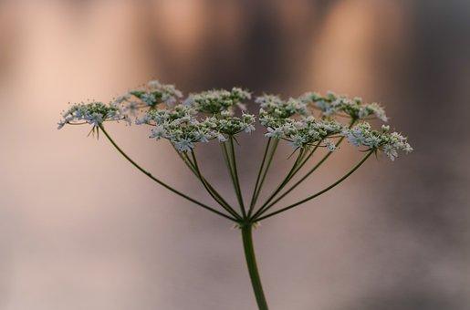 Wild Fennel, Wild Carrot, Nature, Plant, Flower, Leaf