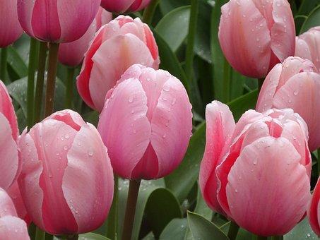 Tulip, Flower, Flora, Garden, Floral, Nature, Leaf