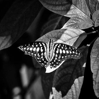 Butterfly, Insect, Nature, Monochrome