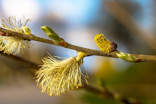 Willow Catkins, Bud, Shoots, Bloom, Branch, Nature