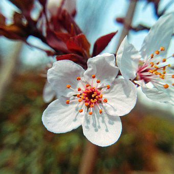 Flower, Cherry Wood, Plant, Nature, Branch