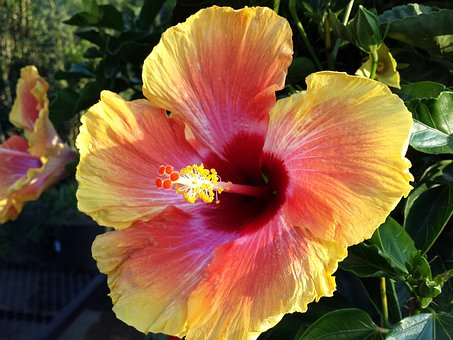 Flower, Nature, Hibiscus, Stamen, Closeup, Botanical