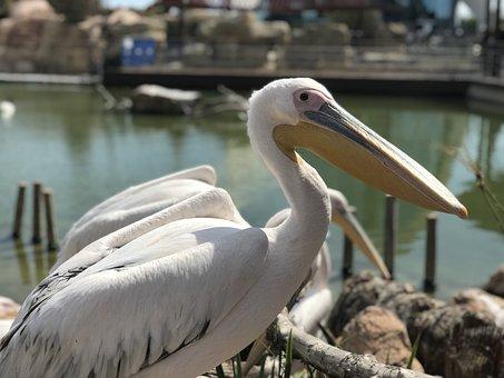 Birds, Wild Life, Nature, Pelecanus