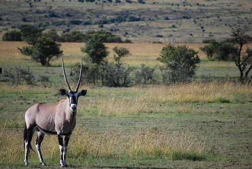 Antelope, Wildlife, Mammal, Safari, Animal, Oryx
