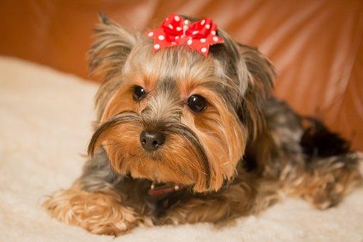 Dog, Animal, Pet, Mammal, Cute, York, Terrier, Fur